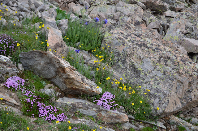 blue and yellow and purple blooms among the rocks