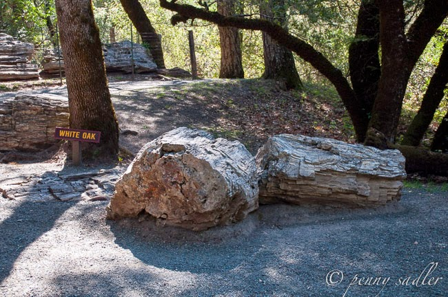 Calistoga's Petrified Forest