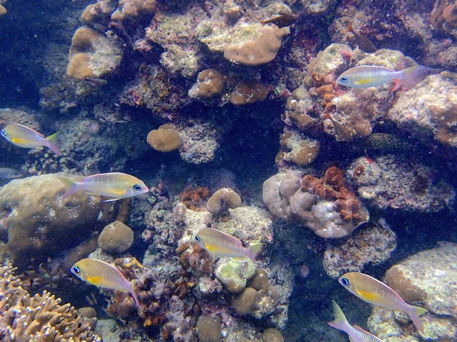 Scolopsis margaritifer (Pearly Monocle Bream), Miniloc Island Resort reef, Palawan, Philippines.