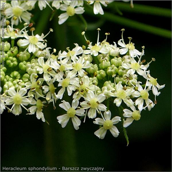 Heracleum sphondylium flowers - Barszcz zwyczajny kwiaty
