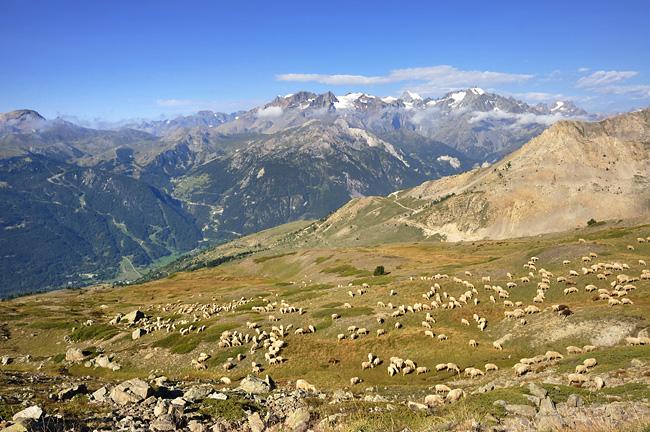 Traversée des Alpes, du lac Léman à la Méditerranée Gr5-mont-blanc-briancon-ecrins-moutons-2