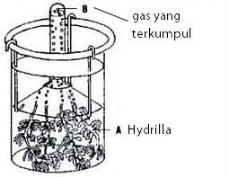 Praktikum fotosintesis (Ingenhousz)