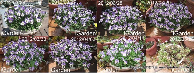香堇菜雪貝青瓷藍花期長 | iGarden花寶愛花園