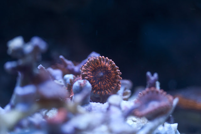 CRW 3960 - zoas and palys-  lps - sps - nightmares and people eaters!