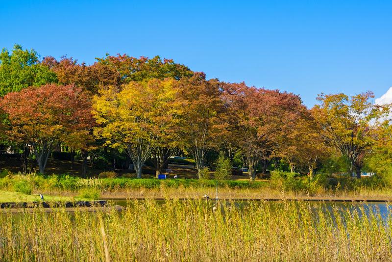 昭和記念公園 紅葉 写真3