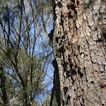 Goana on tree next to Warrimoo Track (26570)