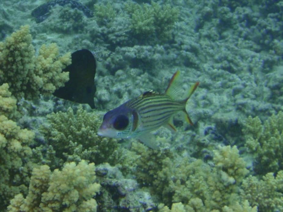 Neoniphon sammara (Spotfin Squirrelfish), Aitutaki.