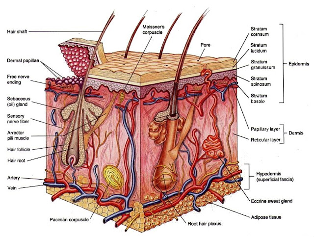 skin cross section Apa itu telangiectasia ?