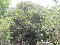 https://lh6.googleusercontent.com/-k7aJpK8uOE8/T3wGq7MmnPI/AAAAAAAAAQc/HVBJwNlu8j8/s1600/ZZ+Unknown+085+Tree+-+Canopy.jpg
