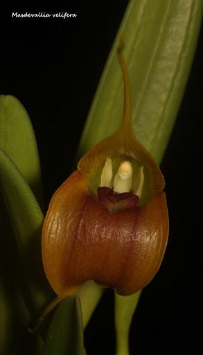 Byrsella velifera ( ex. Masdevallia velifera ) IMG_0686b%2520%2528Medium%2529