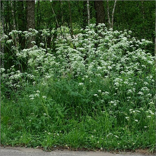 Anthriscus sylvestris - Trybula leśna pokrój kwitnącej rośliny