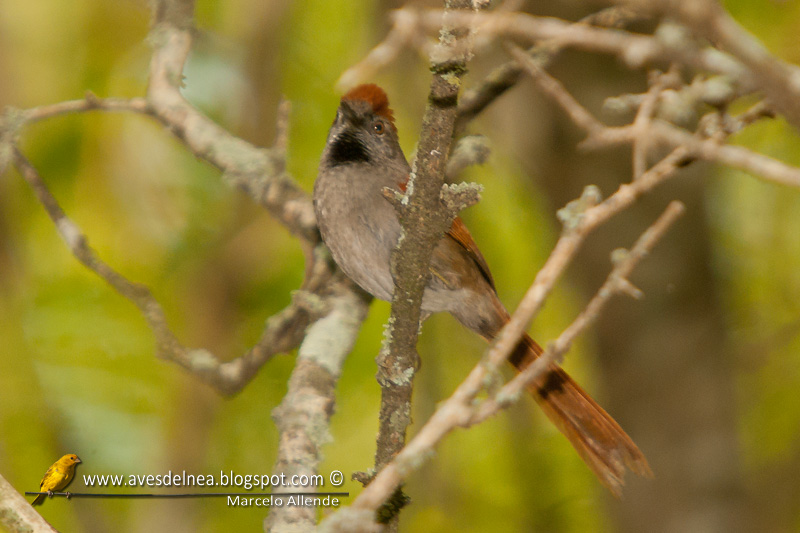 Pijuí frente gris (Sooty-fronted spinetail)