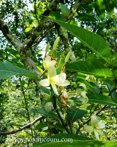 Bitter Oleander