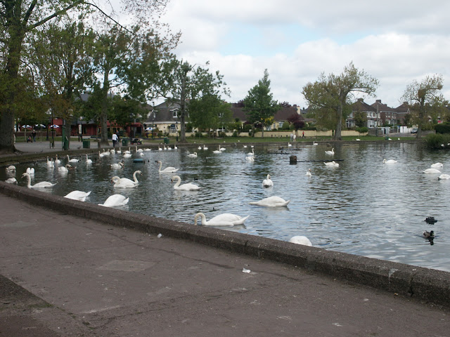Swans at the Lough