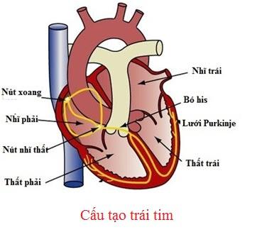 cấu tạo trái tim