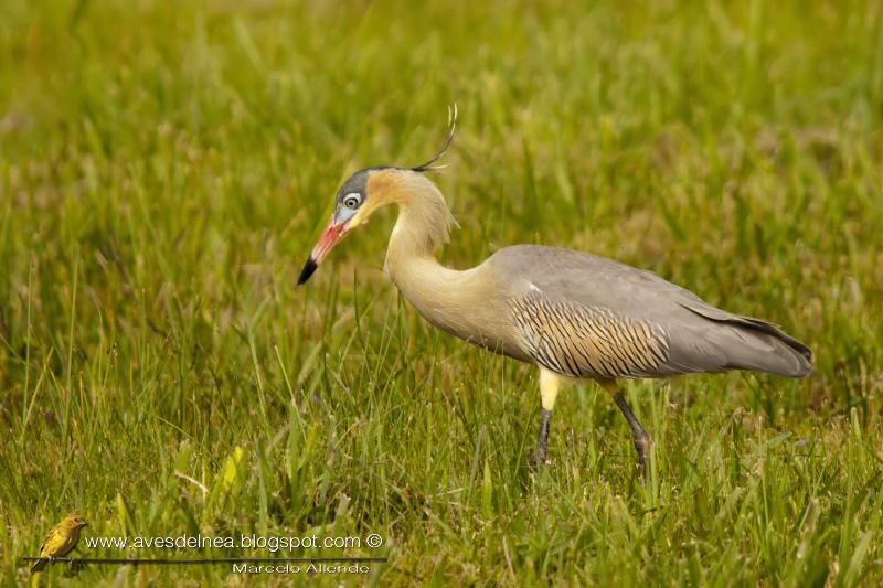 Chiflón (Whistling Heron) Syrigma sibilatrix