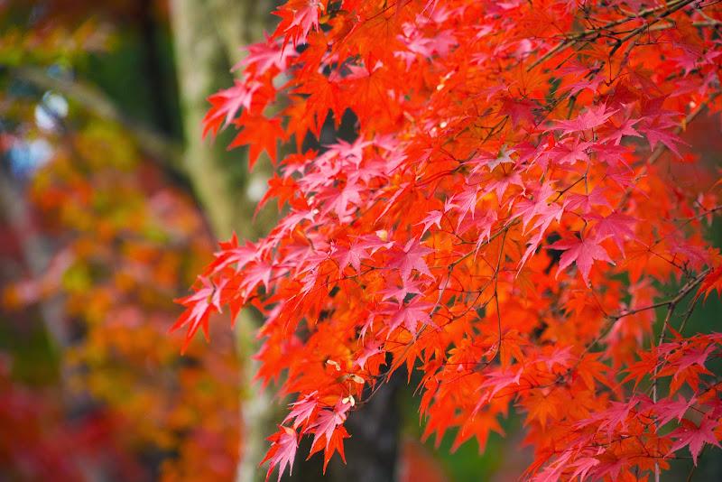 京都 紅葉 金閣寺 写真2