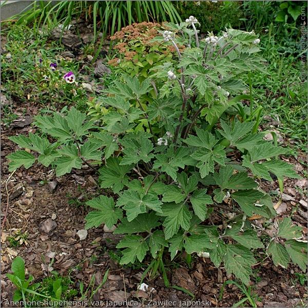 Anemone hupehensis var.japonica habit - Zawilec japoński pokrój