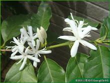 咖啡樹花朵盛開