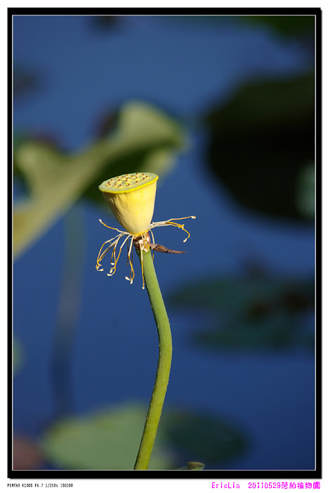 2011植物園-荷拍-