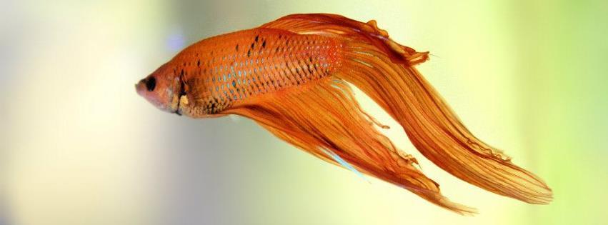 Süs Balığı facebook kapak fotoğrafı