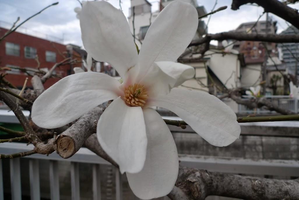 magnolia nakano kanda