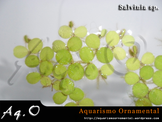 Salvinia sp