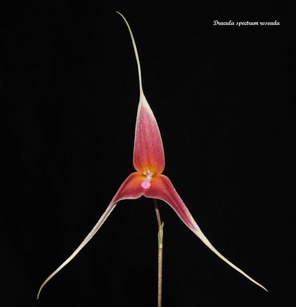 Dracula Spectrum roseada IMG_8115b%2B%28Large%29