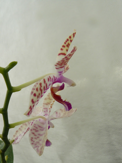 Phalaenopsis Sonnentau x mariae P1030014