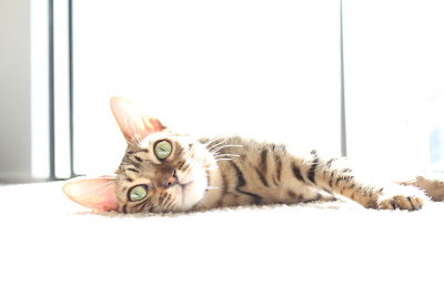 Penny the Bengal Cat Sunning