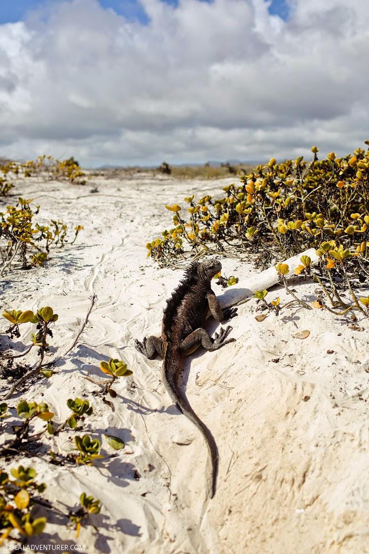 Galapagos Marine Iguana - Galapagos Animals.