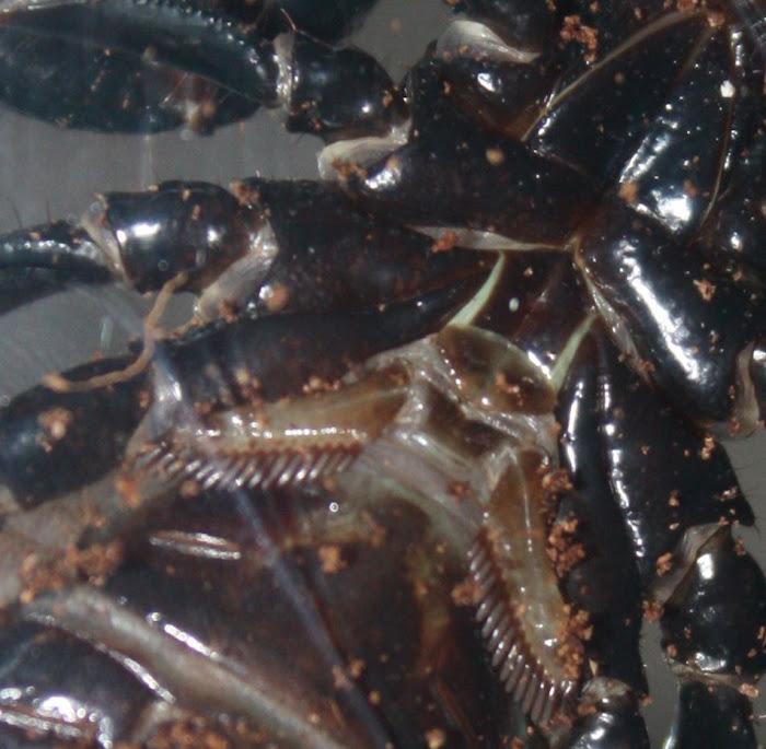 Sexing Pandinus spp and Heterometrus spp Hsfem