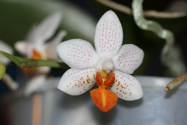 Phalaenopsis Mini Mark IMG_1213