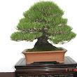 30 Pinus thunbergii.JPG