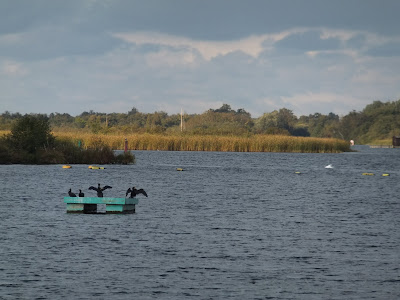 Cormorants on Barton Broad