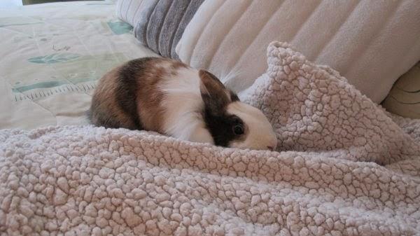 Gaufrette, lapine tricolore-[adoptée] Gaufrette4-0435e