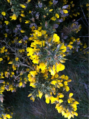 Gorse at Cromer, Norfolk