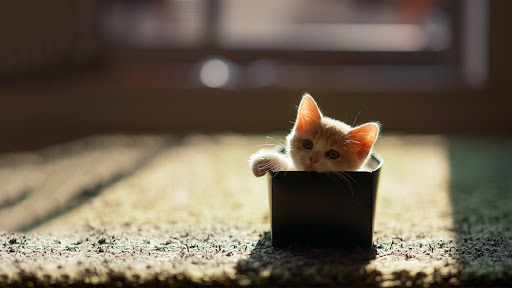 Little Cat in Box