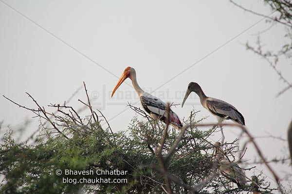 Adult painted stork with a baby painted stork