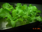 3 week Nevada summer crisp lettuce - pretty plants