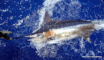 Pete Balon Released this estimated 180 lb Pacific Blue Marlin Aug 8, 2011  (Yes, it was the Lucky Linda Lure)