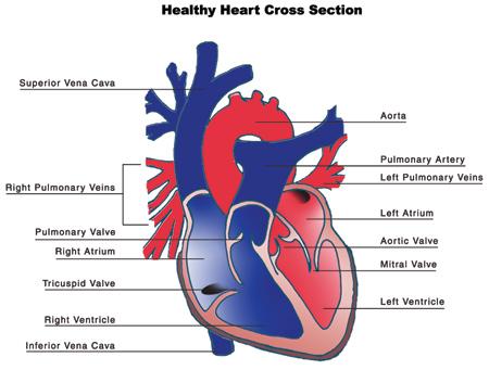 Body System: Heart Anatomy
