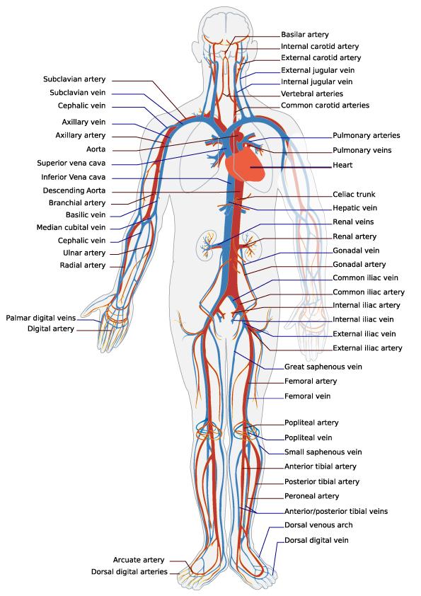 Circulatory System - Norman Herr, Ph.D.