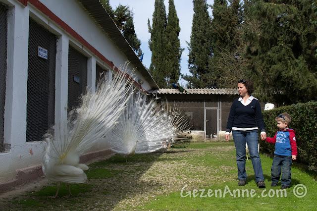 Uluabat Kuş Cenneti'ndeki beyaz tavus kuşları