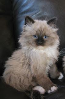 Sold Kittens My Kitten Kaboodle