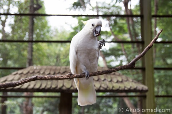 burung kakak tua makan kuaci