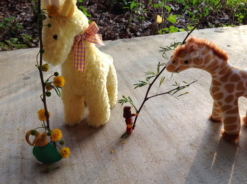 acacia-feeding-giraffes2.jpg
