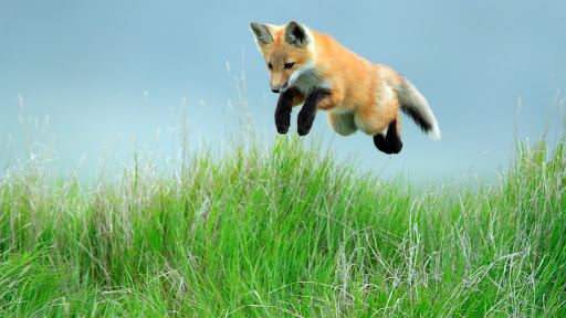 Leaping Red Fox Pup, Saskatchewan.jpg