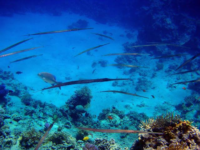 рыбы-палки