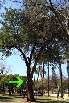 2012. Algarrobo, poda de la rama más gruesa